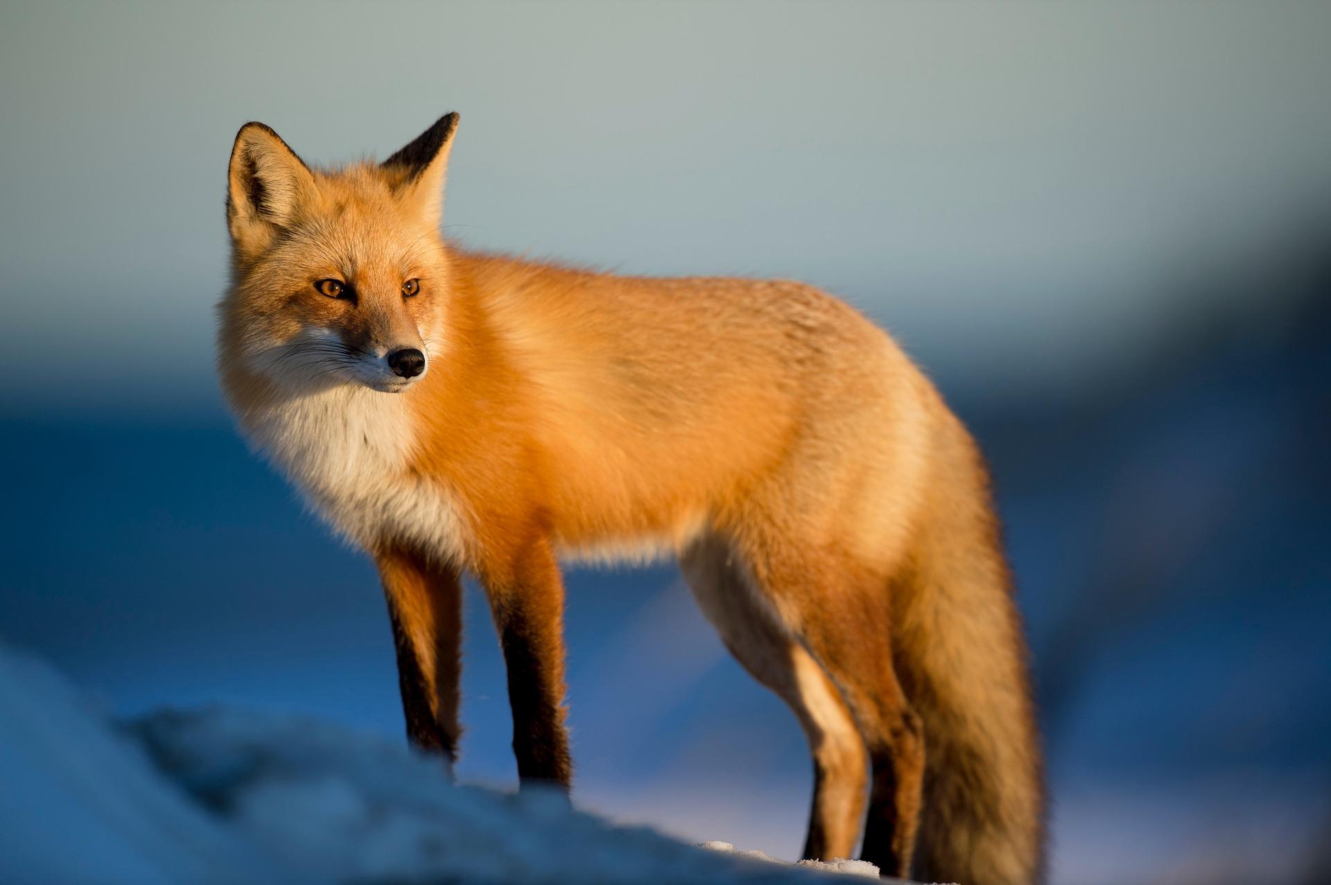 fox-2597803_1920 by StockSnap on Pixabay