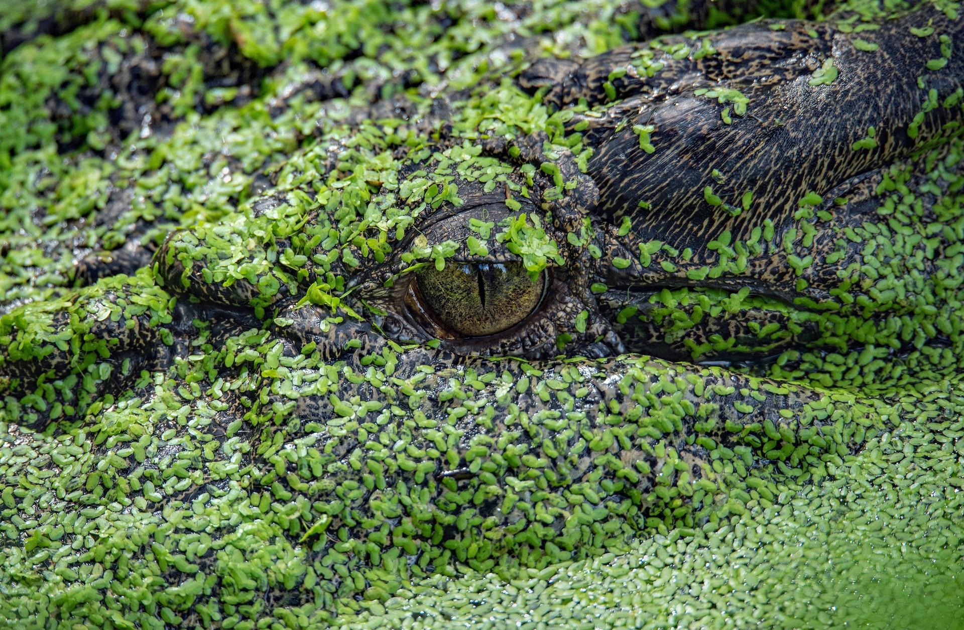 Crocodile david-clode-3udd_NEmgDs-unsplash